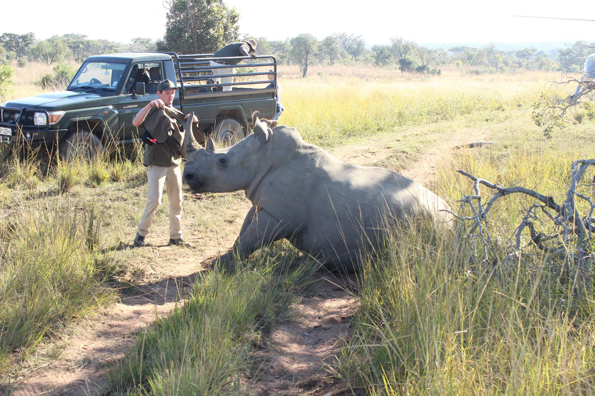 Rhino getting a GPS Collar